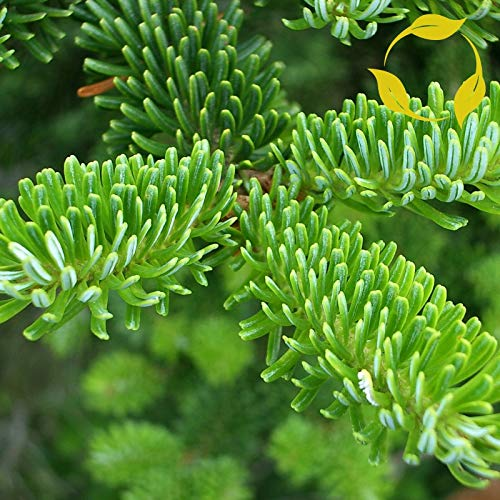 GETSO 50 + EXTRA: Fraser-Tanne Abies fraseri 25,50 Seeds