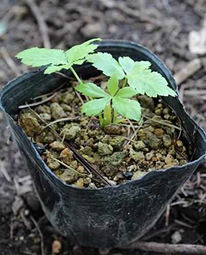 紫桜館 山の花屋『ミツバ 9cmポット仮植え苗』