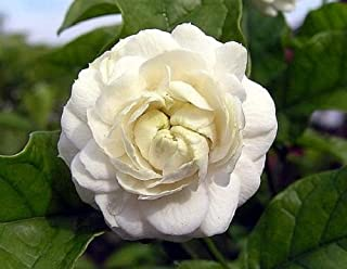 Arabian Jasmine Plant - Grand Duke of Tuscany - Fragrant - 4