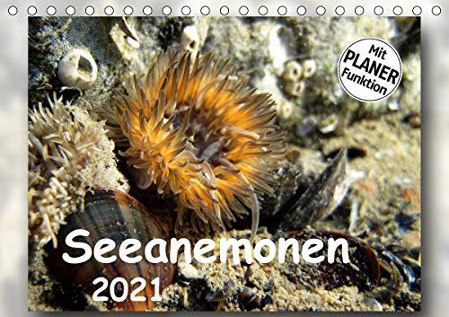 Seeanemonen (Tischkalender 2021 DIN A5 quer)