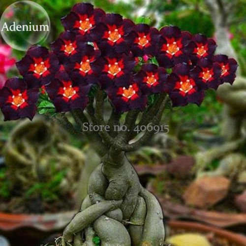 Adenium Seeds: Buy Adenium Seeds Online at Best Prices in India