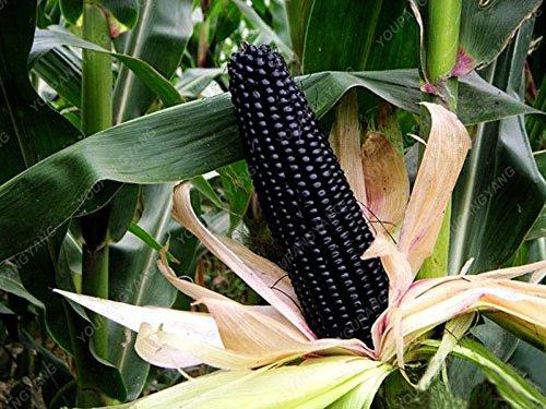 20 pcs / sac noir Jade Dwarf Maïs doux Graines Heirloom Super Rare à pollinisation usine de céréales non OGM grains pour le jardin à la maison