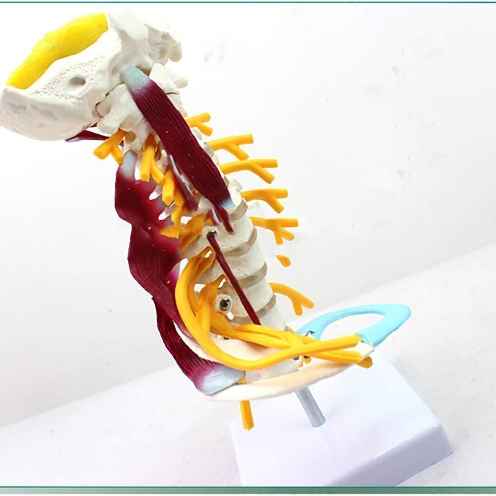ZLF Human NEW Torso outlet Model Cervical Life Vertebrae M Size