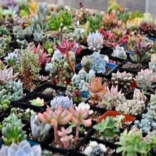 100 semillas de suculentas mezcladas – semillas de flores de jardín, bonsái, decoración del hogar y la oficina