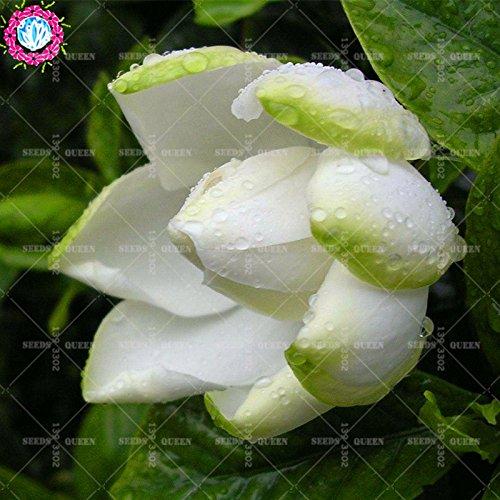 2 pièces/sac graines de fleurs de Gardenia (Cape Jasmine) jardin en pot Bonsai odeur incroyable et de belles fleurs pour chambre bateau libre 5