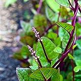 Semillas para la siembra, 100pcs/Bag Planta Plántulas Crecimiento Rápido Saludable Lleno de Vitalidad Gynura Cusimbua Semillas de Espinaca para Bonsai - Semilla