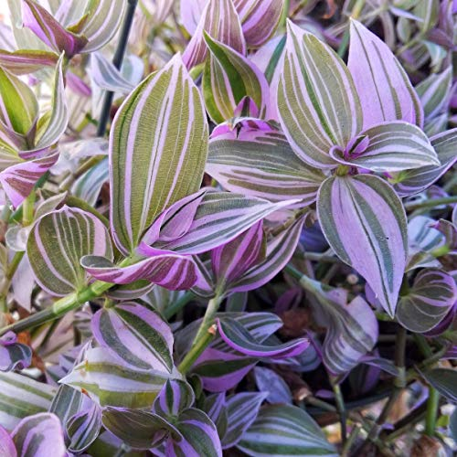 Wandering Jew Lilac - 2.5 inch Potted Plant - Tradescantia Fluminensis Lilac -...