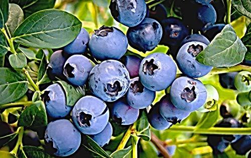 100 amerikanische Heidelbeere Samen, Huckleberry, Blaubeere, Vaccinium corymbosum, Neu Dezember 2020