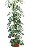 Plante d'intérieur - Plante pour la maison ou le bureau - Schefflera arborea 'Gold Capella' - Plante à feuillage panaché, hauteur 1,6m