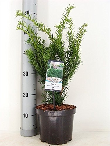 Eibe - Taxus media Densiformis - 30-40cm...