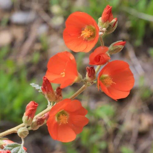 Desert Globemallow Sphaeralcea ambigua Cut Flower - Flower Seeds (100)