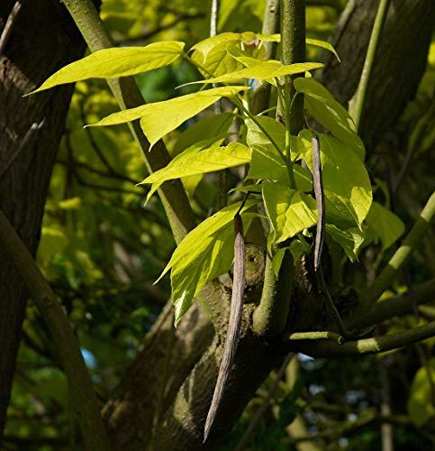 Gold-Trompetenbaum Catalpa bignonioides 'Aurea' Pflanze 45-50cm Beamtenbaum