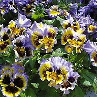 New! 30+ Frizzle Sizzle Yellow Blue Swirl Ruffled Pansy Flower Seeds/Perennial