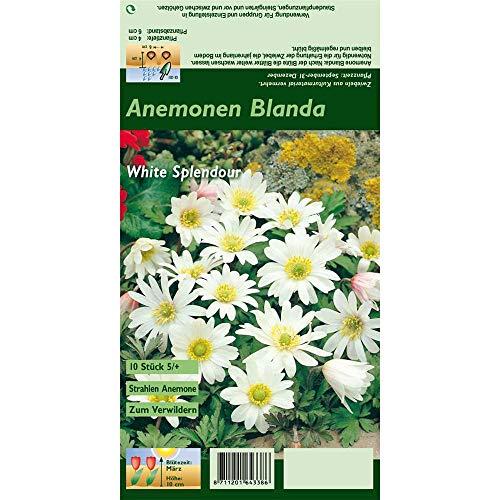 Florado 10x Garten-Strahlen-Windröschen Blumenzwiebeln 'White Splendour', Anemone Zwiebelblumen, Garten, Schnittblumen, Bienen Insekten, Größe 5/+