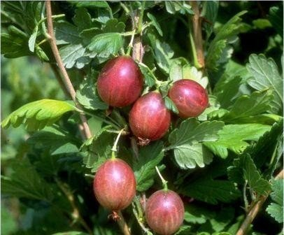 Redeva, rot, fast stachellos, Stachelbeere, robuste Sorte, Busch, 60cm im Topf
