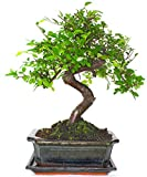 Large Chinese Elm Bonsai Tree S Trunk - Supplied with Ceramic drip Tray Green Pot