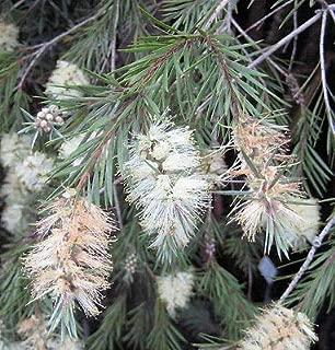 20 Willow BOTTLEBRUSH Seed PODS - Callistemon salignus