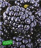 BALDUR-Garten Brombeeren 'Big Max XXL', 1 Pflanze, Rubus fruticosus