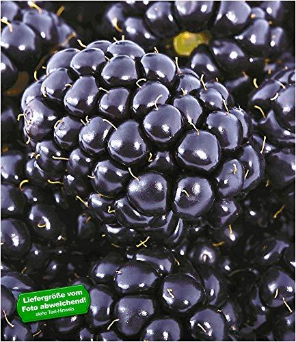 BALDUR Garten Brombeeren 'Big Max XXL'®, 1 Pflanze, Rubus fruticosus