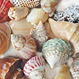 """Polished Sea Shells – Sizes 2.25"""" to 4"""" - Approx. 15 Beach Shells in Mixed Colors – Great for Beach Home Decor and Wedding Centerpieces"""