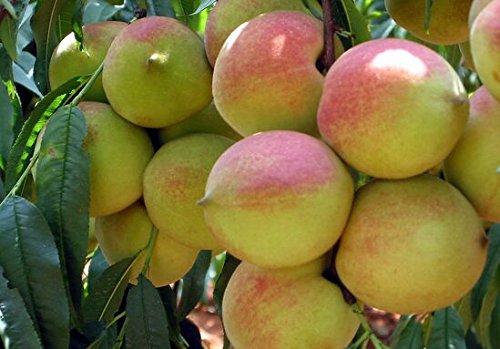 les pêches nains bonanza, Peach Tree - graines de Peach - Fruit graines de bonsaï - 10 pcs