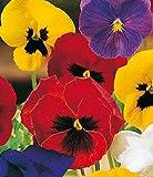 VIOLA del pensiero gigante in miscuglio (Viola tricolor) - SEMI