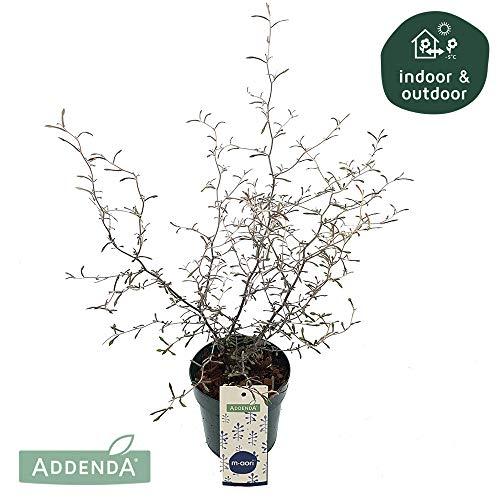 Zimmerpflanze von Botanicly – Zickzackstrauch – Höhe: 30 cm – Corokia Cotoneaster
