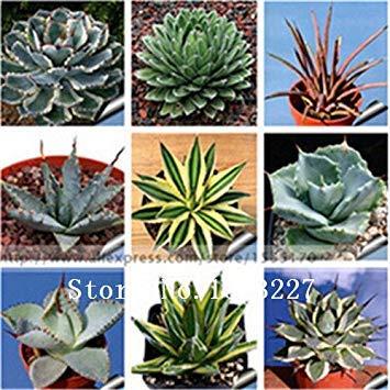 100pcs 100% d'origine graines de Agave rares, graines d'arbres des plantes herbes graines de fleurs de livraison Succulent Plant gratuit