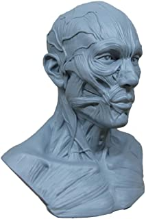 Human Model Craft Anatomy Skull Head Muscle Bone Medical Artist Drawing Study (Blue)