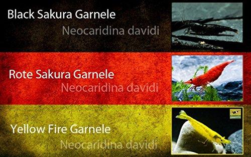 Garnelio - Deutscher Garnelenmix - Neocaridina davidi - 6st.