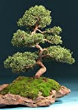 Tropica - Bonsai - ginepro cinese (Juniperus chinensis) - 30 semi