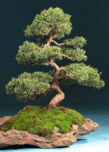 TROPICA - Ginepro cinese (Juniperus chinensis) - 15 Semi- Bonsai