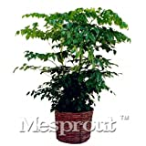 New Home Garden Plant 50PCS Seeds Genuine Radermachera Sinica China Doll Emerald Tree Seeds Also For Bonsai