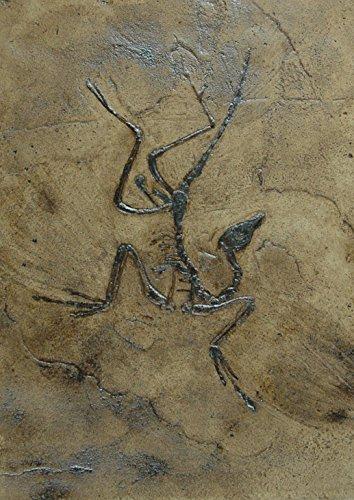 Replikat des weltberühmten Urvogels Archaeopteryx in Museums Qualität; Fossilien Abdruck, Nachbildung, Tier, Tiere, Tierfossilien, Vogel Fossil