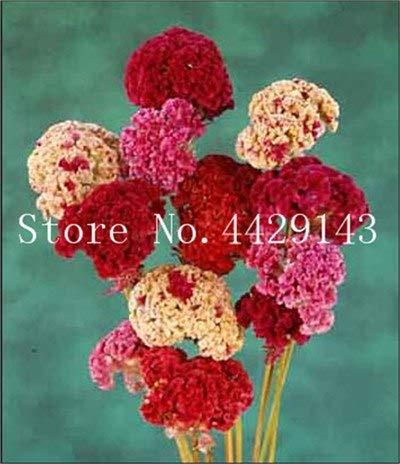prime vista 100 stücke Mixed farbe Cockscomb bonsai, celosia spicata pflanze, bonsai blume pflanzen Reine blaue Cockscomb baum topf für hausgarten: 10