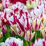 Tulipan bulbo,Una Flor de Tulipán con Fuerte vitalidad,las flores son brillantes y llenas-2,7bulbos