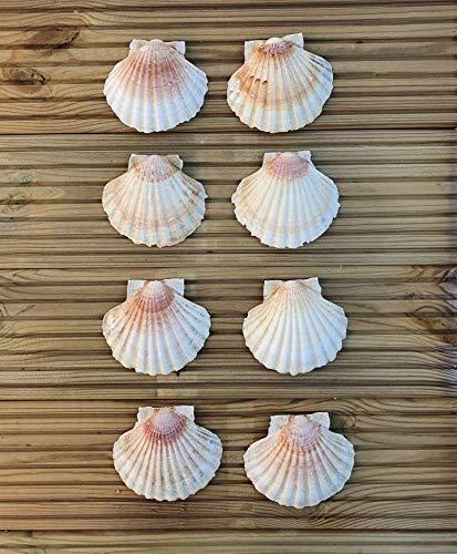 Coquilles Saint-Jacques Naturelles pour la cuisine, la décoration, l'artisanat.Taille Idéale 10–12 cm (8)