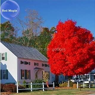 New Autumn Blaze Red Maple Tree Seeds - 20+ seeds