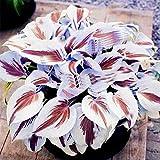 ypypiaol 200 Piezas De Color Mezclado Hosta Plantaginea Semillas De Plátano Fragante Bonsai Decoración Planta Exterior Blanco púrpura Semillas de Hosta