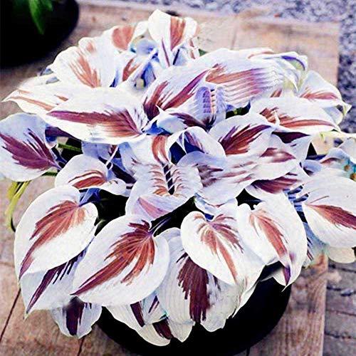 ypypiaol 200 Stück Gemischte Farbe Hosta Plantaginea Samen Duftende Wegerich Bonsai Dekor Pflanze Im Freien Lila Weiß Hosta Samen