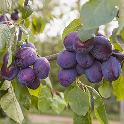 'Czar' Plum Patio Fruit Tree in a 5L Pot 90-110cm Tall Grow Your Own Fruit
