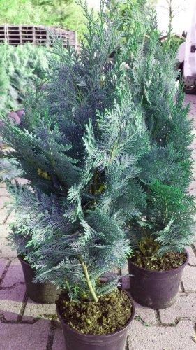blaue Scheinzypresse Chamaecyparis lawsoniana Columnaris Glauca 80-100 cm hoch im 5 Liter Pflanzcontainer