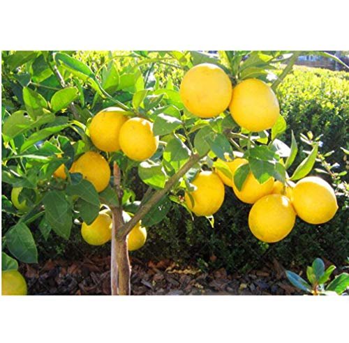 20pcs Lemon Tree Seeds High Survival Rate Fruit Seeds for Home Garden Balcony