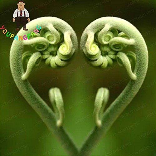 Tohum comestible Fern Graines de légumes rares Amour Fougère Graines de vigne plantes grimpantes pour Home Garden Plante décorative Semillas 100 pcs/sac