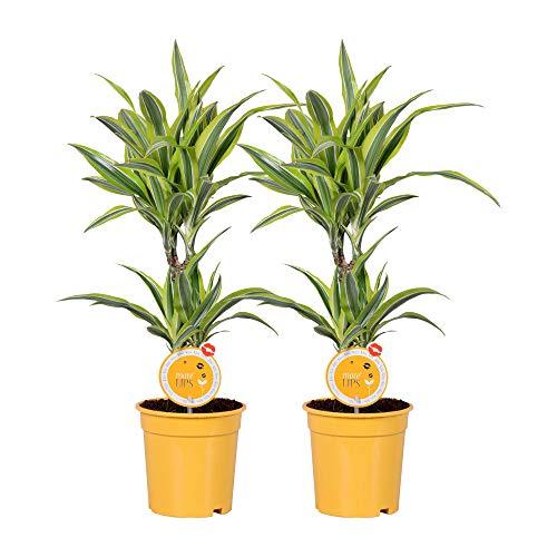 MoreLIPS® - Drachenbaum 2 Stück - in gelbem Topf - Höhe 60-70 cm - Topfdurchmesser: 17 cm - Dracaena deremensis Lemon Lime - Your Green Present