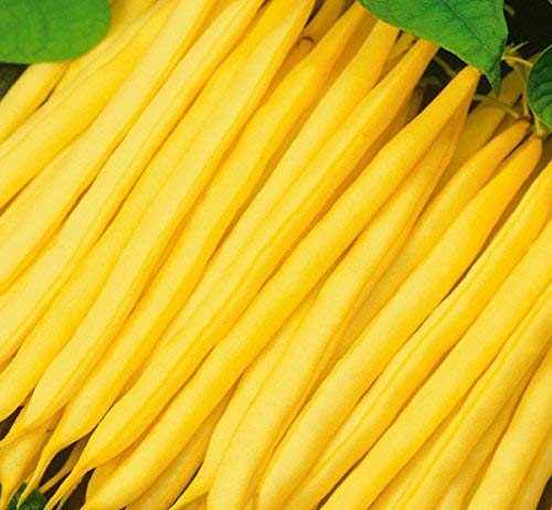 """Gelbe Bohnen""""Sonesta"""" - köstliche, widerstandsfähige Sorte - 250 samen"""