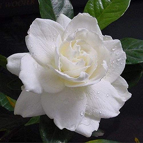 20 Stück Jasmin samen Große Blütenblätter Spezielle Blumensorten Duftüberlaufende reinigende Luft Dekorative Gärten Einfache Kultivierung