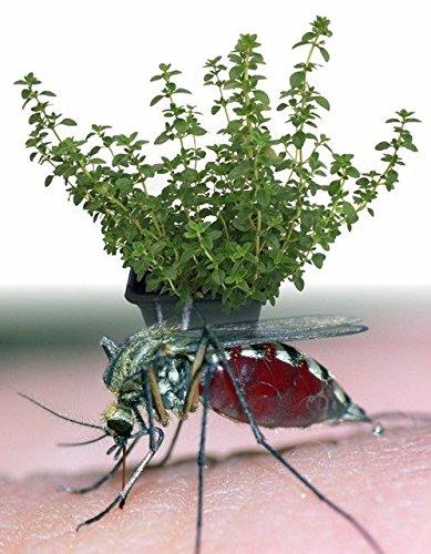 400 Citron Thym herbes aromatiques pour plantes Légumes Graines Thymus Citron Mosquito Repelling Creeping culinaires, facile à cultiver