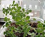 PLAT FIRM Germinación de las semillas: las semillas de fenogreco HERB, herencia, orgánico de 20 SEMILLAS, sano y Herb SABROSO