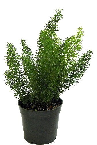 Foxtail Fern - Asparagus meyerii - 4' Pot - Easy to Grow Houseplant - Live Plant